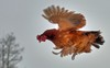 'Phi đôi gà bay' theo tiếng còi của chủ