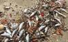 Cá chết hàng loạt ở Đà Nẵng