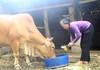 Dưa hấu ngập do lũ, nông dân chặt bỏ cho bò ăn