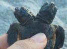 Bắt được rùa biển 2 đầu cực hiếm