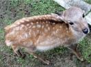 Hươu ở công viên Nhật cắn nhiều du khách Trung Quốc