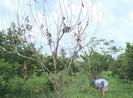Vĩnh Long: Nhiều vườn chôm chôm bị kẻ gian đổ dầu phá hoại