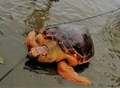 Rùa biển quý hiếm mắc lưới ngư dân Quảng Trị