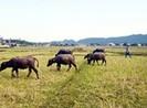 Sau Thanh Hóa, đến lượt Quảng Bình thu phí trâu bò ăn cỏ