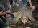 Thả con vích nặng 70 kg về biển