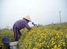 Những cánh đồng hoa cúc vàng rực ngày giáp tết