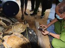 Tòa giao Viện Hải dương học quản lý hơn 5.000 kg xác rùa biển