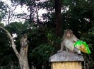Bầy khỉ gây họa ở Tòa thánh Tây Ninh
