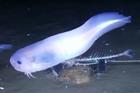 Phát hiện loài cá lạ, tan chảy khi lên khỏi mặt nước