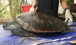 Rùa biển quý hiếm chết đau đớn do nuốt quá nhiều rác