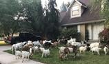 Sáng tỉnh dậy thấy…trăm con dê lạ trước cửa nhà