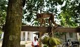 Khỉ hái dừa làm chết cụ bà 72 tuổi