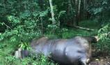 Bò tót 700 kg chết trong rừng sau khi bị ô tô tông