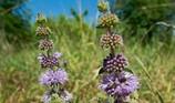 8  loại cây đuổi muỗi trồng trong nhà an toàn, hiệu quả