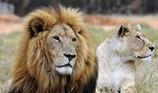 Nhóm người Việt tại Nam Phi bị bắt vì nghi giết 40 con sư tử