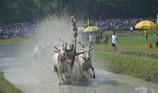 Những hình ảnh cực hấp dẫn ở lễ hội đua bò Bảy Núi