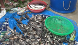 Người dân vớt hàng tấn cá nước ngọt dưới biển Đà Nẵng