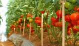 Sang Hàn hái ớt, cà chua lương 33 triệu/tháng