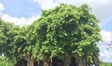 Người dân muốn giữ ngôi đình nằm trọn trong bộ rễ bồ đề