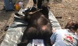 Người dân tự nguyện giao nộp cá thể gấu ngựa nặng 139 kg