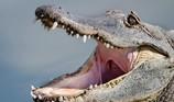 Dắt chó đi dạo, bất ngờ bị cá sấu cắn chết