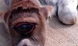 Chú bê một mắt kì lạ được tôn thờ như một vị thần