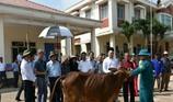 """""""Chú Tư Sang"""" trao tặng 100 con bò giống cho người nghèo"""