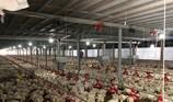 """Kỳ công nuôi gà """"máy lạnh"""" xuất khẩu sang Nhật Bản"""