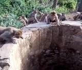 Báo rơi xuống giếng, được bầy khỉ nhanh nhẹn cứu sống