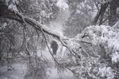 Bão tuyết ở Nga khiến hàng ngàn cây bật gốc