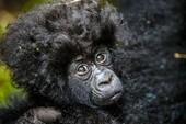 Chú khỉ con đáng yêu với mái tóc của ca sĩ nhạc rock