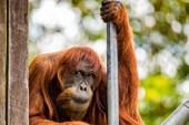'Cụ' đười ươi thọ nhất thế giới vừa qua đời