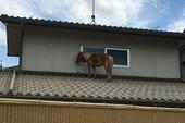 Tội nghiệp ngựa con đi lạc... lên mái nhà