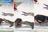 Hú hồn cá sấu trở mặt cắn huấn luyện viên khi đang trình diễn