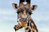 Hươu cao cổ chải răng như thế nào?