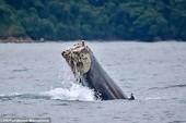 Chú cá voi sống sót kỳ diệu sau khi mất cả chiếc đuôi