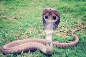 Cho rắn hổ mang cắn để giảm cảm giác nghiện thuốc phiện