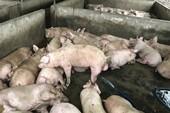 Hàng trăm con heo được bơm căng nước để mang đi tiêu thụ