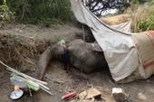 Con voi cuối cùng của xã chết thảm vì bị chém rồi kiệt sức
