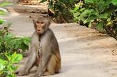 Đã xử lý được con khỉ sổng chuồng cắn liên tiếp nhiều người