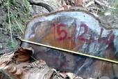 Vụ tàn sát rừng phòng hộ Sông Lũy: Thêm một cây dầu cực quý bị triệt hạ