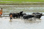 Mùa này mưa có ngập ruộng