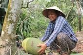 Trộm 'canh' vườn mít Thái