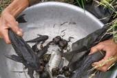 Hậu quả ăn cá lau kiếng để trị tiểu đường