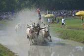 Tưng bừng lễ hội đua bò Bảy Núi