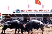 Lễ hội chọi trâu Đồ Sơn sẽ tiếp tục được tổ chức