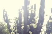 Trầm trồ cây xương rồng 30 năm tuổi trổ kín hoa