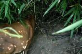 Bắt một người trộm bò theo lệnh truy nã
