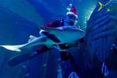 Clip: Ngắm 'ông già Noel' bơi cùng đàn cá tại Hàn Quốc