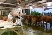Bắt hàng loạt cơ sở bơm nước vào bò trước khi giết mổ